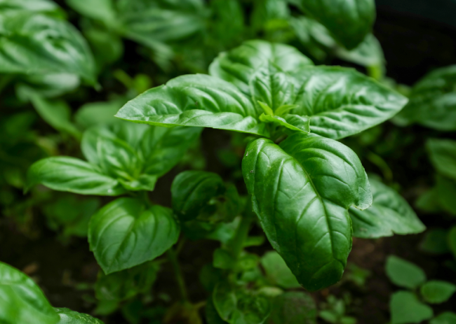 Basil | Natural Spice