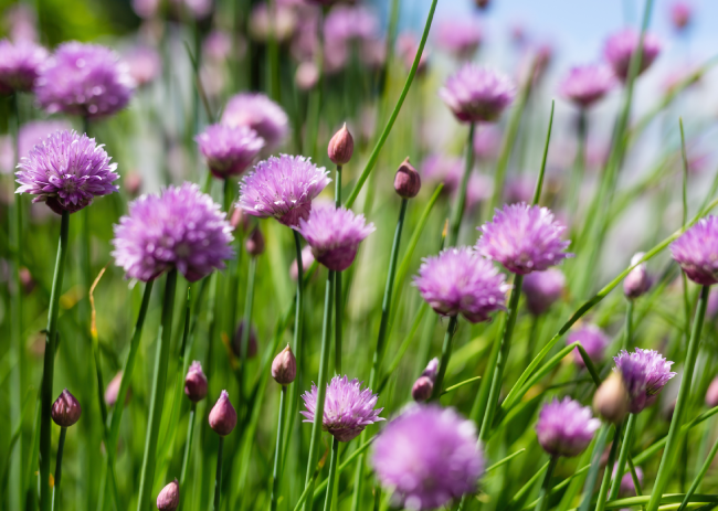 Chives | Natural Spice